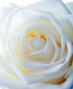 White rose #flower