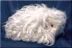 Texel Guinea Pig – There are several different guinea pig breeds, but one of the newest is the Texel guinea pig. Guinea Pig Breeding, Pet Guinea Pigs, Guinea Pig Care, Peruvian Guinea Pig, Reptiles, Guinea Pigs For Sale, Pig Breeds, Guniea Pig, Cat In Heat