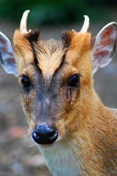 Muntjac de chine. Singular, British Wildlife, Zoo Animals, Beautiful Creatures, Kangaroo, Deer, Beast, Petting Zoo, Chinese