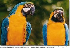 Blue and Gold Macaws (Ara ararauna)