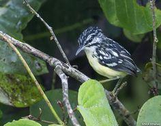 Choquinha-de-bico-curto (Myrmotherula ignota)