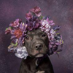 ここに紹介するかわいいワンちゃんたち。花のオーナメントを頭に乗せて、どの子も愛嬌たっぷり。でも彼ら、ピットブル(Pit Bull)と呼ばれるアメリカで...
