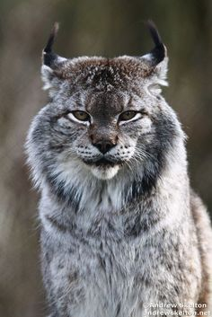 Wild Animals 525654587753284978 - Siberian Lynx, Lynx lynx wrangeli, one of the larger members of the Lynx family. This male was under the influence of Spring weather and was calling, prowling and sprainting during daylight hours. Nature Animals, Animals And Pets, Baby Animals, Cute Animals, Wild Animals, Colorful Animals, Big Cats, Cool Cats, Cats And Kittens