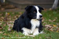 Ice - Border Collie
