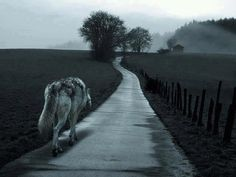 The long and winding road  #wolf