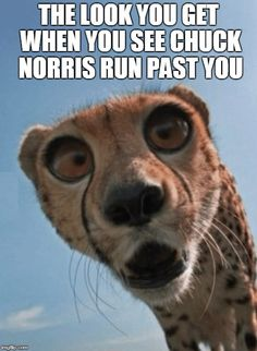 15 Down Right Funny Cheetah Memes - World's largest collection of cat memes and other animals Funny Animal Memes, Cat Memes, Funny Cats, Funny Animals, Big Cats, Cats And Kittens, Animals And Pets, Baby Animals, Chuck Norris Memes