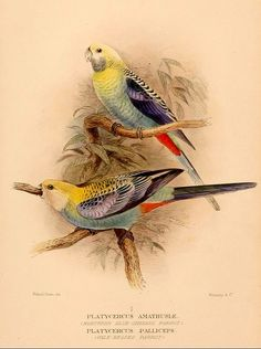 Birds of Australia 1910-28 by Gregory Mathews on Flickr. The...