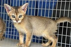 Chausie Cat - Breed Information