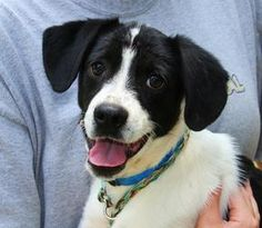 SAMMI is an adoptable Brittany Spaniel Dog in New Milford, CT. Sammi is a 4 month old Spaniel mix. �13 lbs now, so we think he will be a medium sized dog. �Very friendly and outgoing! �Loves people. �...