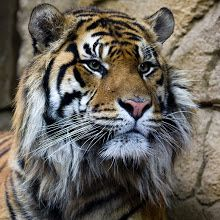 Fine set of muttonchops on this Sumatran Tiger at ZSL London Zoo