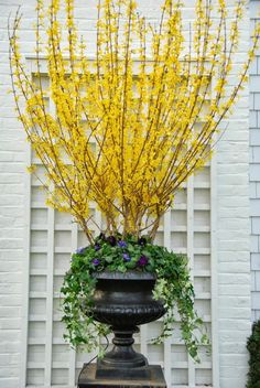 Stunning spring pots and urns.  You will want to head on over to your local garden center, stat!    Love this forsythia!