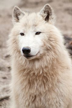 "animals-of-the-world:    (via 500px / Photo ""Wolf"" by Petr Toman)"