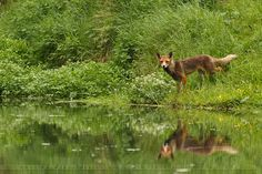 paganroots:  Fox Reflections by thrumyeye