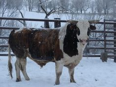 Bucking bull: I wonder if one like this will make it's way to the farm soon! Bull Cow, Beefmaster Bull, Farm Animals, Animals And Pets, Buffalo Bulls, Bucking Bulls, Wooly Bully, Bullen, Rodeo Life