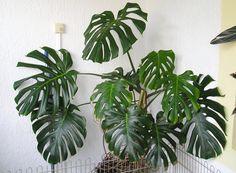 Le philodendron (monstera) est une plante verte d'intérieur au feuillage très décoratif. Conseils de culture, d'entretien, multiplication, espèces.