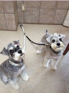 Ranked as one of the most popular dog breeds in the world, the Miniature Schnauzer is a cute little square faced furry coat. Schnauzer Mix, Schnauzer Grooming, Schnauzers, Cute Puppies, Cute Dogs, White Miniature Schnauzer, Baby Animals, Cute Animals, Dog Haircuts