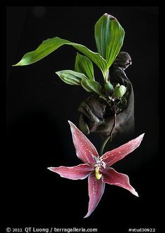 Majestic X Paphinia Cristata | Paphinia cristata. A species orchid | THE CLOVER PINBOARD VIII | Pint ...