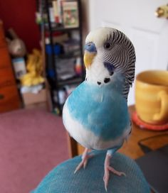 Say what? (Male budgie)