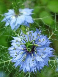 Jomfru i det grønne, Nigella damascens 'Miss Jekyll'  Meget nem. Og at der bare kommer endnu flere blomster, når man får plukket buketter, gør blomsten endnu mere værdifuld.  Jomfru i det grønne blomstrer juli - august og har en høj nektarværdi for bier.  Frø sås direkte på voksestedet i april - juni. Sådybde: 1 cm. Frøene spirer efter et par uger, hvorefter der udtyndes til en afstand på 20 cm. De skønne jomfruer trives i sol.