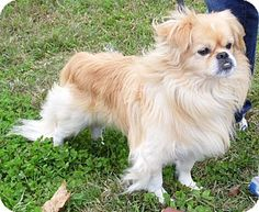 Pekingese Puppy for adoption in Sussex, New Jersey - Petey (15 lbs) More Pics! Hi! I'm Petey! My parents are moving and I can't go with them. I'm now looking for my new forever home! I'm approx. 3 years old and approx. 15 pounds(10/13). Yes, I'm a handsome little fellow! I'm being cared for by: Save A Mutt Kennel NJ