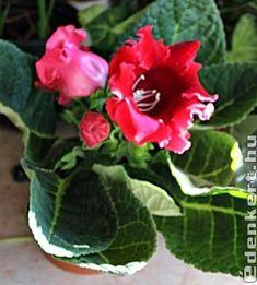 Gloxínia Plants, Plant, Planets