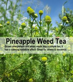 How To Make Pineapple Weed Tea (Delicious & Great For Stress & Insomnia) Healing Herbs, Medicinal Plants, Natural Healing, Weed Tea, Herbs For Health, Health Tips, Health Care, Edible Wild Plants, Herb Garden Design