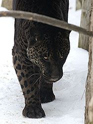 Jahzara, female melanistic (black) jaglion. Jahzara lives at the ...