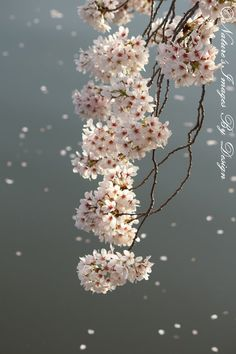 It's Raining Cherry Blossoms  8X12 Fine by NatureImagesByDesign, $20.00