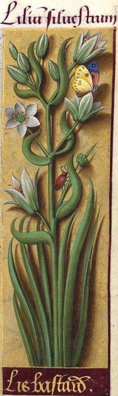Lis bastard - Lilium silvestrum (Liliacée difficile à identifier -- D'après… Medieval Books, Medieval Manuscript, Medieval Art, Renaissance Art, Illuminated Manuscript, Botanical Drawings, Botanical Illustration, Botanical Prints, Art Floral