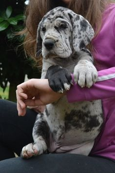 Harlequin Great Dane Puppy! (KO) Sweet speckled pup. So cute, but take a gander at those feet. He will be very large when he's grown. Big puppy!