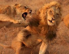 Lioness attacks - Animal fights: Intense moments in the wild caught on camera - NY Daily News
