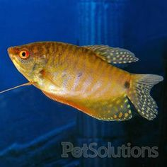 Gold Gourami.  Mine is around 4 years old, huge and beautiful.  Unfortunately he is also a complete asshole! ;-)