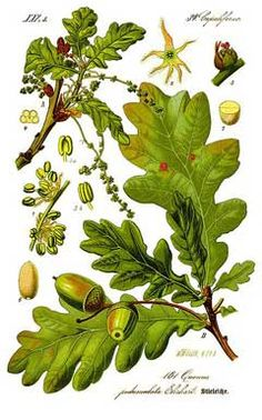 Quercus robur, English/Pedunculate Oak