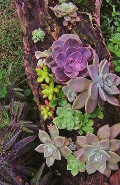 Succulents planted in a dead tree.