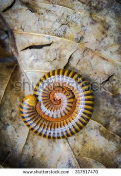 Millipede defend or Protect yourself on Dry leaf - stock photo