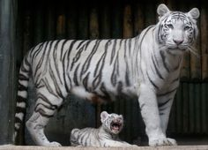 A rare white Bengal tiger cub sits at the feet of its mother Surya Bara at a zoo in the city of Liberec, Czech Republic. It is one of three cubs born to Surya. Picture: Petr David Josek
