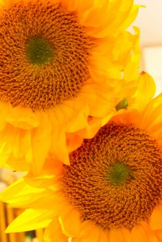 Pair of Sunflowers   Flickr - Photo Sharing!