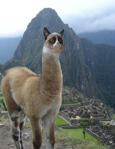 Rare Grumpy llama at Machu Picchu. Don't let it spit on you! #GrumpyCat #Photos
