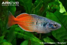 44 best rainbow fish images on pinterest fish aquariums fish like other rainbowfish boesemans rainbowfish is a small freshwater fish with a rather compressed fandeluxe Image collections