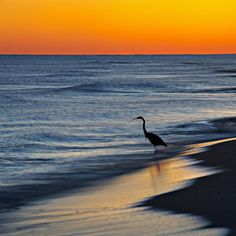 Tourist Heron - fl, florida, pensacola fl, pensacola florida, pensacola beach fl, pensacola beach florida, beach, sand, white sand, sea oats, golden, driftwood, skies, blue skies, blue, nature, northwest fl, northwest florida, florida pandhandle, nw fl, nw florida, the real florida, sunset, pensacola beach, gulf breeze, gulf breeze fl, gulf breeze florida, the emerald coast, the gulf coast, enchanted light photography, santa rosa island,escambia county fl, gulf islands national seashore