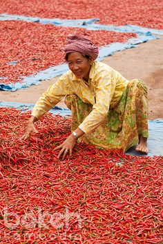 Khmer farmer drying red chili peppers   Kampong Cham Province, Cambodia