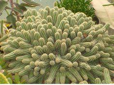 Plants & Flowers » Chamaecereus silvestrii