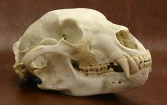 bear skull - Google Search