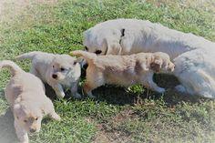 Prairie Willow Golden Mountain Dogs: Gallery Araina our English cream Golden Retriever and her sweet pups. Moyen Poodle, Mountain Dogs, English, Puppies, Cream, Gallery, Sweet, Animals, Animais