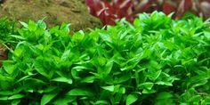 7: Staurogyne repens - Tropica Aquarium Plants