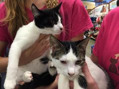 Dynamic Duo is an adoptable Domestic Short Hair searching for a forever family…