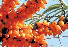 Sea-buckthorn berry can be harvested only once every two years. It can produce up to 15 kg of fruit at a time.