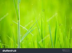 Fresh Green Grass With Morning Water Drops, Natural Background. Close Up With Shallow Dof. Stock Photo 470017304 : Shutterstock