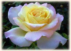 Peace Hybrid Tea Rose | Peace Hybrid Tea Rose