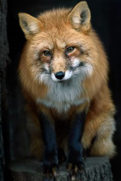 Red Fox by József Marton on 500px